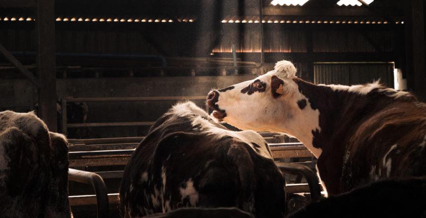 La traite se prépare, et cette vache ne semble pas réjouie par la chose. Ou peut-être appelle-t-elle ses camarades retardataires ?